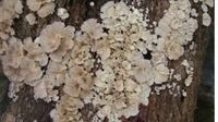 关于白参菌的记载