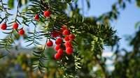 """与杉同寿丨红豆杉,植物中的""""大熊猫"""""""