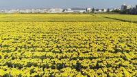 澄江市260亩菊花喜获丰收