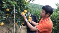玉溪新平:柑橘飘香照亮致富路