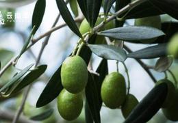 丽江橄榄油  每一滴都健康