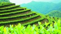 文山茶文化,迷人的民族风情