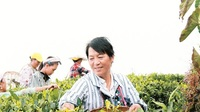 福贡县:茶叶种植促农增收