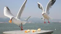 红嘴鸥靠岸 昆明迎来观鸥季