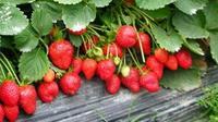 昭通:草莓助推乡村脱贫