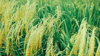 600多亩水稻丰收 高标准大米上市