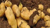 高原种薯采收季 特色产业新希望